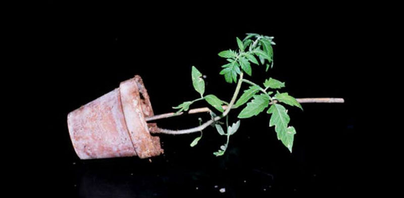 Tomatosphere Tomatosphre Tropisms In Plants
