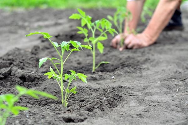 Tomatosphere - Tomatosphère | Growing Tomato Plants