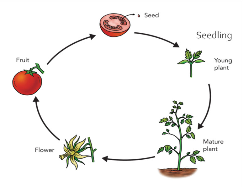 Tomatosphere - Tomatosphère | The Life Cycle of a Tomato PlantTomatosphere - Let's Talk Science