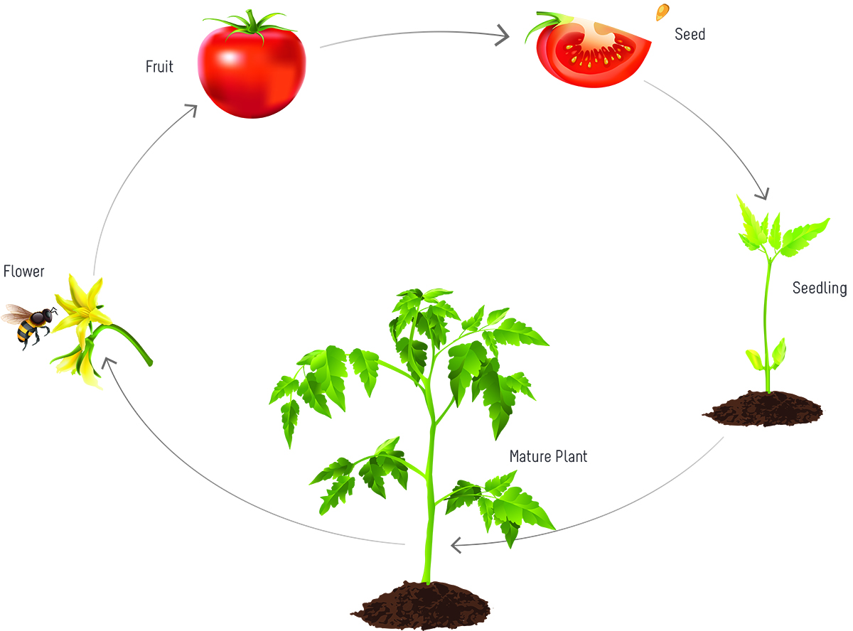 tomatosphere tomatosphère the life cycle of a tomato plantfigure 1 diagram of the tomato life cycle the life cycle starts from seeds and as the plant grows and matures, flowers develop
