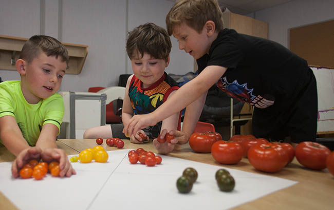 Students sorting tomatoes by colour
