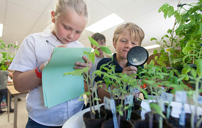 Students look at tomato plant leaves