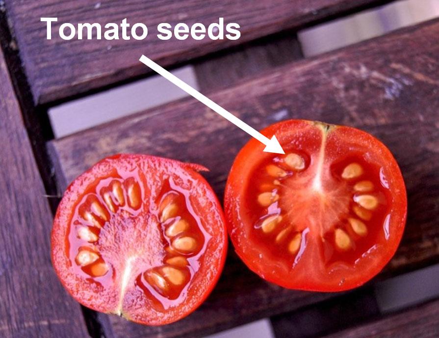 Tomatosphere - Tomatosphère | Seeds and Germination